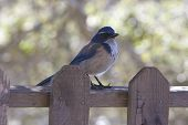 Bluejay On Fence
