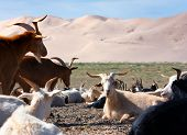 stock photo of quicksand  - goat  - JPG
