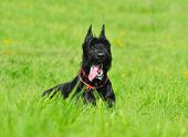 black giant schnauzer sitting in grass