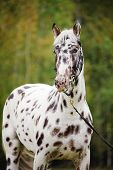 picture of appaloosa  - The Appaloosa horse portrait with autumn background - JPG
