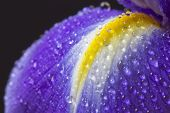 stock photo of purple iris  - Close up image of purple iris petal with water droplets - JPG