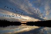 stock photo of geese flying  - Geese landing on the bay at sunset - JPG
