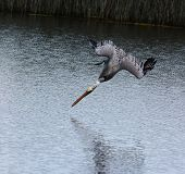 A Brown Pelican diving for food, the bird is just inches from hitting the water.
