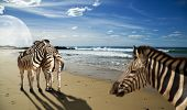 Zebras standing on the beach