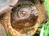 Snapping Turtle 01