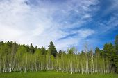 Aspen Trees And Blue Sky poster