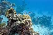 coral reef with soft and hard corals at the bottom of tropical sea on blue water background