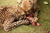 Cheetah feasting