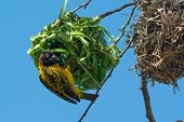 Male Village Weaver Pauses While Building New Nest