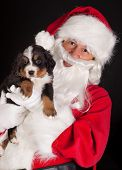 Santa claus bringing a 6 weeks old puppy bernese mountain dog