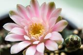 Pink Cactus Flower Isolated On White
