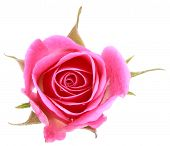 stock photo of single white rose  - Pink rose flower head isolated on white background cutout - JPG