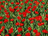 stock photo of land-mass  - Red tulips at the spring season and sunny day