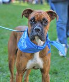 image of spayed  - a cute boxer at a local park - JPG