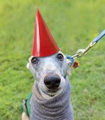 an italian greyhound with a birthday hat on