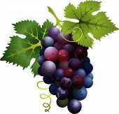 Vector Illustration Of Realistic  Black Grapes