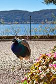 pic of peahen  - Indian peacock bird outdoor with beautiful background - JPG