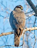 stock photo of goshawk  - The Goshawk appeared to be warming itself in the early morning sun - JPG