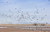 A Sandhill Crane Flock Flies Above Whitewater Draw