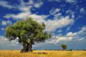 stock photo of olive trees  - Olive trees in the field against vivid sky with clouds - JPG