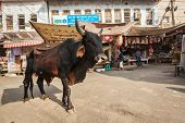 PUSHKAR, INDIA - NOVEMBER 20, 2012: Indian buffalo cow in the street of India. Cow is considered a s