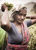 Old Tea Picker Lady, Sri Lanka