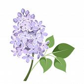 stock photo of lilac bush  - Vector illustration of branch of lilac flowers isolated on a white background - JPG