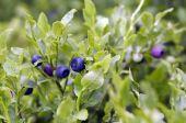 Blueberry Shrubs