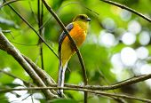 Male Orange-breasted Trogon (harpactes Oreskios)