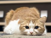 stock photo of animal cruelty  - Portrait of yellow sad sick cat lying at home - JPG