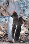 Single Gentoo Penguin