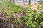 Budding And Blooming White Dead-nettle Plants
