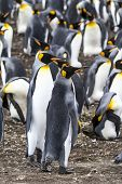 foto of falklands  - King Penguin  - JPG