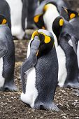 pic of falklands  - King Penguin  - JPG