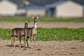 Roe-deer with young in a clearing