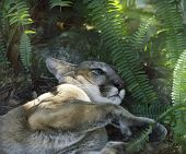 A North American Cougar (Puma concolor) Resting Under Shady Tree