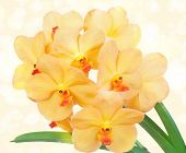 Bright yelloww flowers of an orchid vanda
