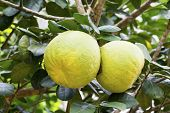 stock photo of pomelo  - Pomelo fruits on tree  - JPG