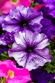 Colorful Petunia Flowers
