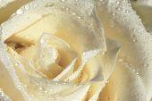 pic of single white rose  - white rose - JPG
