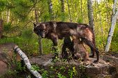 Black Wolf (canis Lupus) Feeds Her Pups Standing On Rock