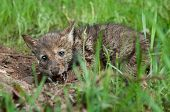 pic of coyote  - Coyote Pup  - JPG