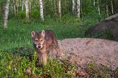 Grey Wolf Pup (canis Lupus) Stands At Den Entrance