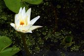 Lotus Flower Is A Flower In The Natural