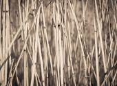 cane dry background
