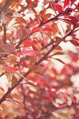 picture of barberry  - barberry bush in autumn sunlight close up photo - JPG