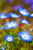 Nemophila Flower Field, Blue Flowers In The Garden