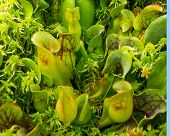 image of carnivorous plants  - Pitcher plants closeup carnivorous Sarracenia purpurea closeup - JPG