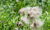 Feathery Pappus And Overblown Flowers Of Creeping Thistle Plants From Close