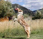 An Australian Shepherd catching a disk
